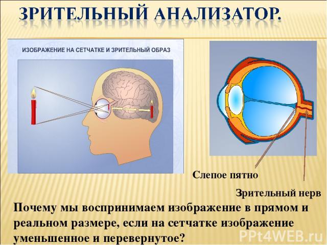Зрительный нерв Слепое пятно Почему мы воспринимаем изображение в прямом и реальном размере, если на сетчатке изображение уменьшенное и перевернутое?