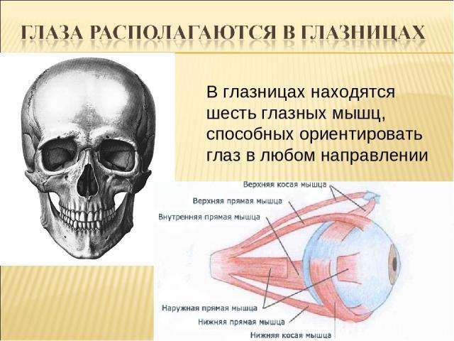 В глазницах находятся шесть глазных мышц, способных ориентировать глаз в любом направлении