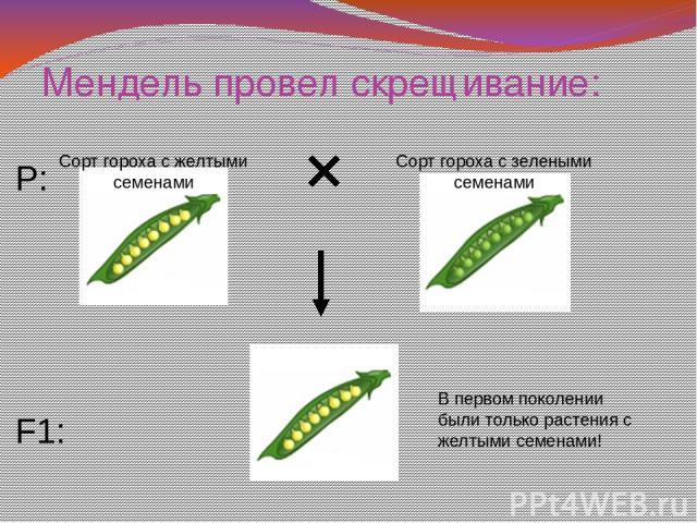 Мендель провел скрещивание: P: F1: Сорт гороха с желтыми семенами Сорт гороха с зелеными семенами В первом поколении были только растения с желтыми семенами!