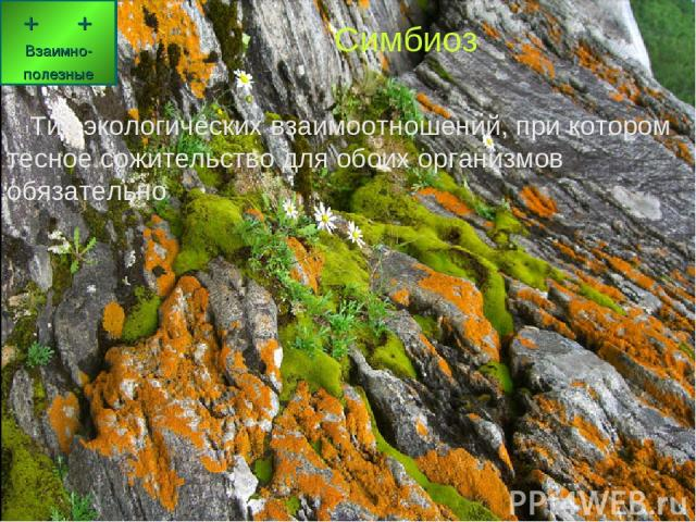 Симбиоз Тип экологических взаимоотношений, при котором тесное сожительство для обоих организмов обязательно, иногда с элементами паразитизма Симбиоз Тип экологических взаимоотношений, при котором тесное сожительство для обоих организмов обязательно …