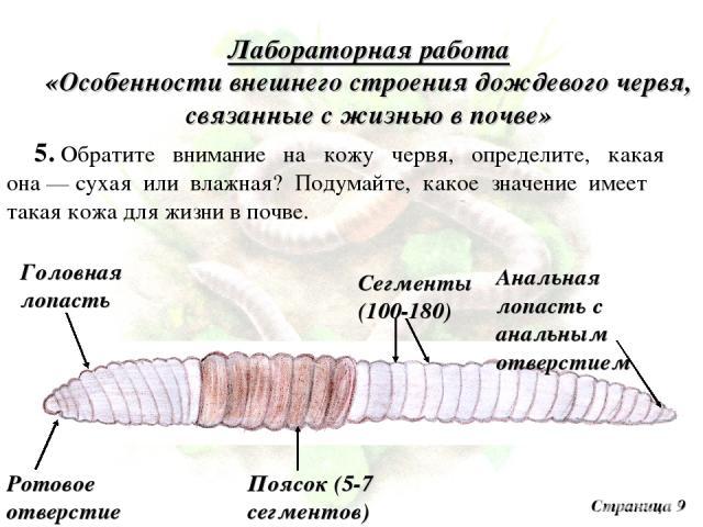 Лабораторная работа «Особенности внешнего строения дождевого червя, связанные с жизнью в почве» 5. Обратите внимание на кожу червя, определите, какая она — сухая или влажная? Подумайте, какое значение имеет такая кожа для жизни в почве. Страница 9