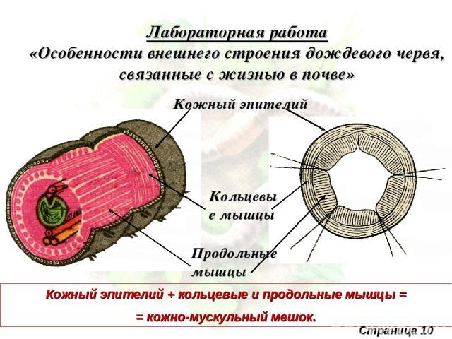 Лабораторная работа «Особенности внешнего строения дождевого червя, связанные с жизнью в почве» Кожный эпителий Кольцевые мышцы Продольные мышцы Кожный эпителий + кольцевые и продольные мышцы = = кожно-мускульный мешок. Страница 10