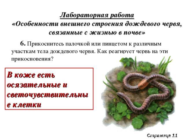 Лабораторная работа «Особенности внешнего строения дождевого червя, связанные с жизнью в почве» 6. Прикоснитесь палочкой или пинцетом к различным участкам тела дождевого червя. Как реагирует червь на эти прикосновения? В коже есть осязательные и све…