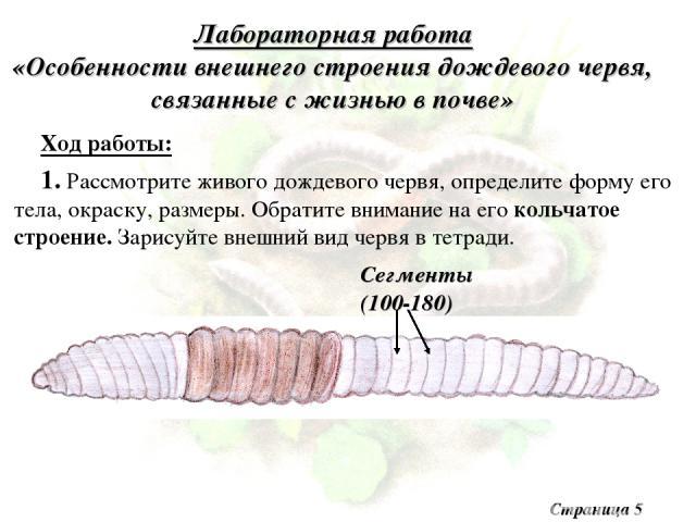 Лабораторная работа «Особенности внешнего строения дождевого червя, связанные с жизнью в почве» Ход работы: 1. Рассмотрите живого дождевого червя, определите форму его тела, окраску, размеры. Обратите внимание на его кольчатое строение. Зарисуйте вн…