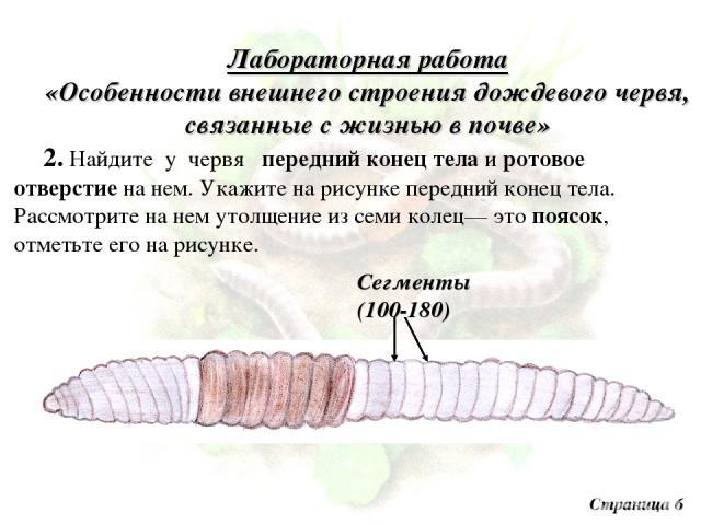 Лабораторная работа «Особенности внешнего строения дождевого червя, связанные с жизнью в почве» 2. Найдите у червя передний конец тела и ротовое отверстие на нем. Укажите на рисунке передний конец тела. Рассмотрите на нем утолщение из семи колец— эт…