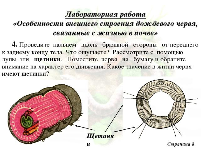 Лабораторная работа «Особенности внешнего строения дождевого червя, связанные с жизнью в почве» 4. Проведите пальцем вдоль брюшной стороны от переднего к заднему концу тела. Что ощущаете? Рассмотрите с помощью лупы эти щетинки. Поместите червя на бу…