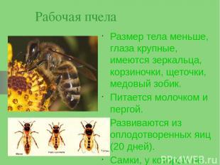 Рабочая пчела Размер тела меньше, глаза крупные, имеются зеркальца, корзиночки,