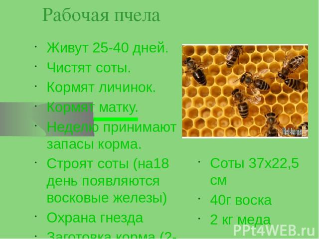 Рабочая пчела Живут 25-40 дней. Чистят соты. Кормят личинок. Кормят матку. Неделю принимают запасы корма. Строят соты (на18 день появляются восковые железы) Охрана гнезда Заготовка корма (2-3 дня) Соты 37х22,5 см 40г воска 2 кг меда
