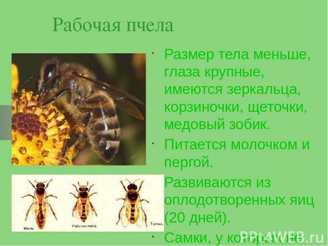 Рабочая пчела Размер тела меньше, глаза крупные, имеются зеркальца, корзиночки, щеточки, медовый зобик. Питается молочком и пергой. Развиваются из оплодотворенных яиц (20 дней). Самки, у которых не развиты половые железы
