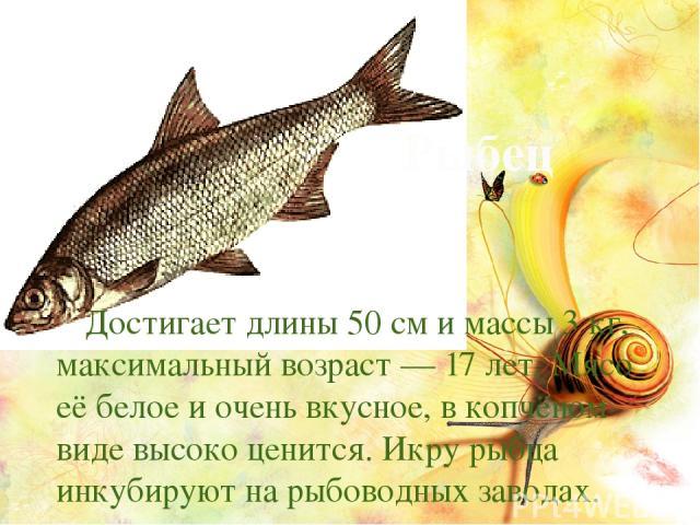 Рыбец Достигает длины 50см и массы 3кг, максимальный возраст— 17 лет. Мясо её белое и очень вкусное, в копчёном виде высоко ценится. Икру рыбца инкубируют на рыбоводных заводах.