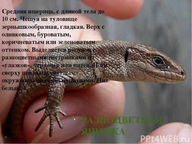 РАЗНОЦВЕТНАЯ ЯЩУРКА Средняя ящерица, с длиной тела до 10см. Чешуя на туловище зернышкообразная, гладкая. Верх с оливковым, буроватым, коричневатым или зеленоватым оттенком. Выделяется рисунок с разноцветными пестринками из «глазков», черточек или п…