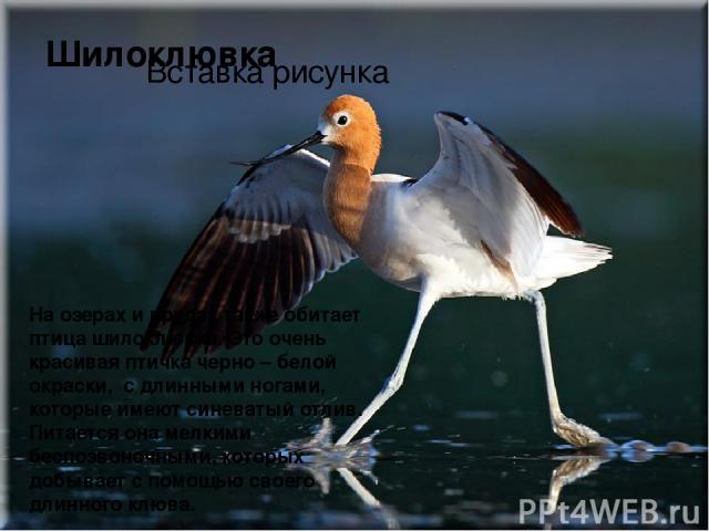 На озерах и прудах также обитает птицашилоклювка. Это очень красивая птичка черно – белой окраски, с длинными ногами, которые имеют синеватый отлив. Питается она мелкими беспозвоночными, которых добывает с помощью своего длинного клюва. Шилоклювка