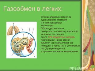 * Газообмен в легких: Стенки альвеол состоят из однослойного эпителия и к ним пр