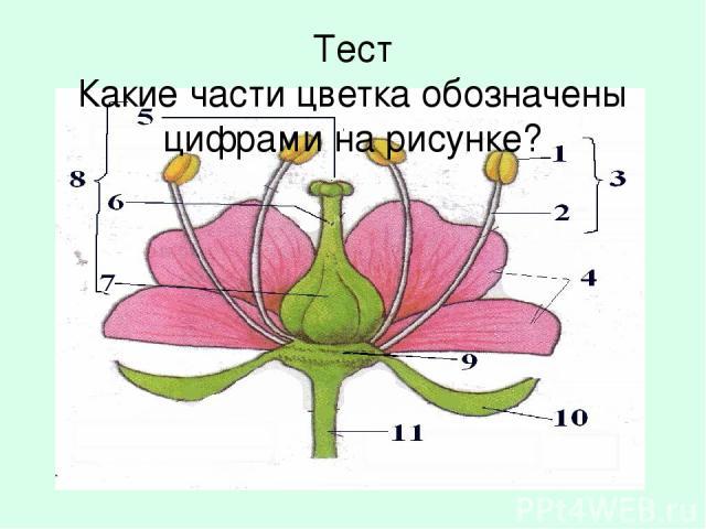 Тeст Какиe части цветка обозначены цифрами на рисунке?