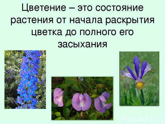 Цветение – это состояние растения от начала раскрытия цветка до полного его засыхания