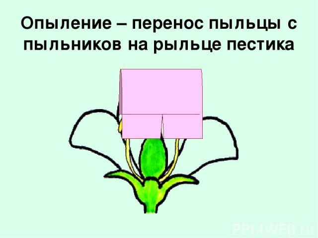 Опыление – перенос пыльцы с пыльников на рыльце пестика
