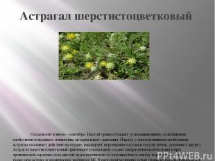 Астрагал шерстистоцветковый Плодоносит в июле—сентябре. Настой травы обладает ус