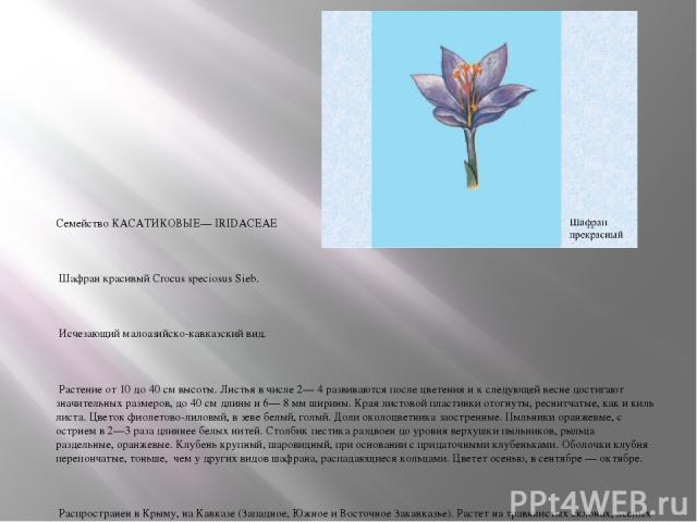 Семейство КАСАТИКОВЫЕ— IRIDACEAE Шафран красивый Crocus speciosus Sieb. Исчезающий малоазийско-кавказский вид. Растение от 10 до 40 см высоты. Листья в числе 2— 4 развиваются после цветения и к следующей весне достигают значительных размеров, до 40 …
