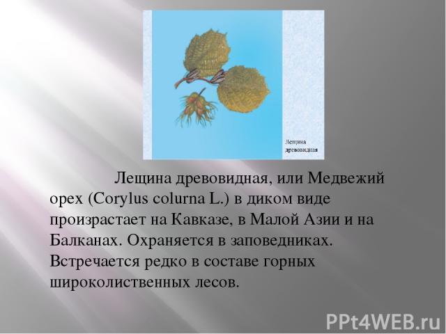 Лещина древовидная, или Медвежий орех (Corylus colurna L.) в диком виде произрастает на Кавказе, в Малой Азии и на Балканах. Охраняется в заповедниках. Встречается редко в составе горных широколиственных лесов. В России лещина древовидная в культуре…