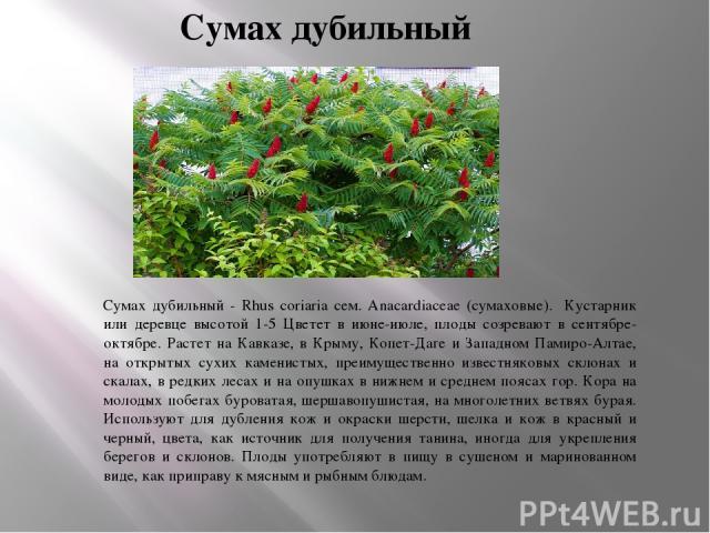 Сумах дубильный Сумах дубильный - Rhus coriaria сем. Anacardiaceae (сумаховые). Кустарник или деревце высотой 1-5 Цветет в июне-июле, плоды созревают в сентябре-октябре. Растет на Кавказе, в Крыму, Копет-Даге и Западном Памиро-Алтае, на открытых сух…