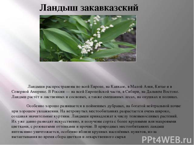 Ландыш закавказский Ландыши распространены во всей Европе, на Кавказе, в Малой Азии, Китае и в Северной Америке. В России — на всей Европейской части, в Сибири, на Дальнем Востоке. Ландыш растёт в лиственных и сосновых, а также смешанных лесах, на о…