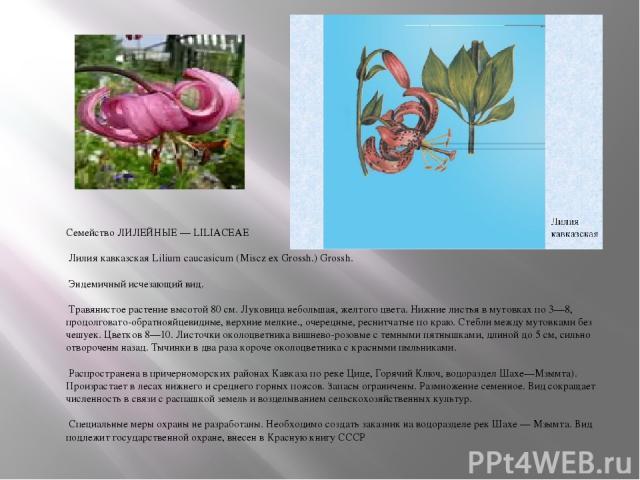 Семейство ЛИЛЕЙНЫЕ — LILIACEAE Лилия кавказская Lilium caucasicum (Miscz ex Grossh.) Grossh. Эндемичный исчезающий вид. Травянистое растение высотой 80 см. Луковица небольшая, желтого цвета. Нижние листья в мутовках по 3—8, продолговато-обратнояйцев…