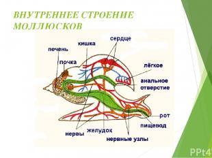 ОРГАНЫ ЧУВСТВ Органы осязания – на голове, в ноге, жабрах. Органы зрения – на го