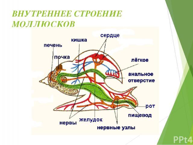 ОРГАНЫ ЧУВСТВ Органы осязания – на голове, в ноге, жабрах. Органы зрения – на голове. Органы обоняния – на голове, в коже. Органы равновесия в ноге. Органы химического чувства – в жабрах.