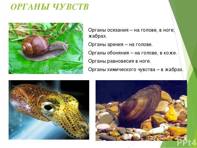 Отличительные черты: Среда обитания моллюсков: Моря, пресные водоёмы, суша. Симметрия тела большинства моллюсков: Двустронняя. Тело большинства моллюсков защищено: Раковиной. Тело покрыто кожной складкой: Мантией.
