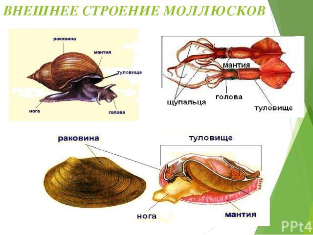 Части тела моллюсков: 1. Голова (у двустворчатых – нет) 2. Туловище 3. Нога (щупальца – у головоногих) 4. Мантия 5. Раковина Симметрия тела большинства моллюсков - двусторонняя. Брюхоногие – асимметричные животные.