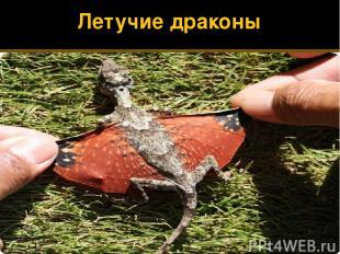 Летучие драконы