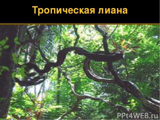 Тропическая лиана