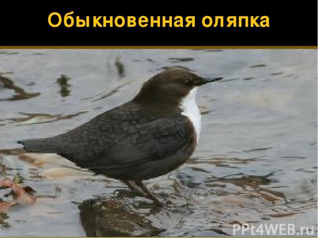 Обыкновенная оляпка