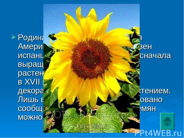 """2 Родина этого растения – Южная Америка. В Европу он был завезен испанцами в началеXVIвека и сначала выращивался как декоративное растение. В Россию он попал вXVIIвеке и долго оставался декоративным и """"грызовым"""" растением. Лишь вXVIIIвеке было…"""