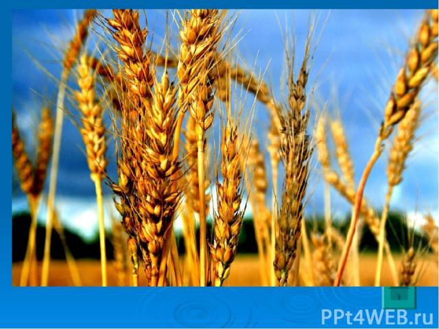 3 Родина этого растения – Закавказье, Турция. Это одна из древнейших культур. Её возделывают во всех умеренных районах земного шара. Из семян этого растения изготавливают манную крупу, макароны, кондитерские изделия.