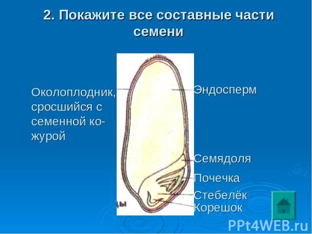 2. Покажите все составные части семени Околоплодник, сросшийся с семенной ко- журой Эндосперм Семядоля Почечка Стебелёк Корешок