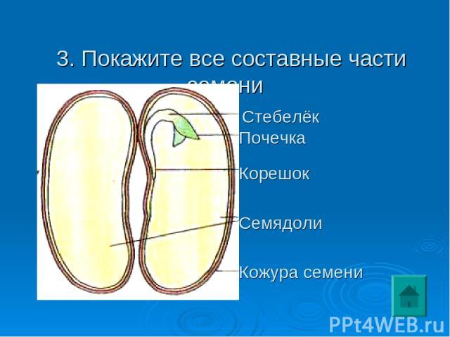 3. Покажите все составные части семени Семядоли Кожура семени Корешок Стебелёк Почечка