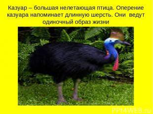 Казуар – большая нелетающая птица. Оперение казуара напоминает длинную шерсть. О