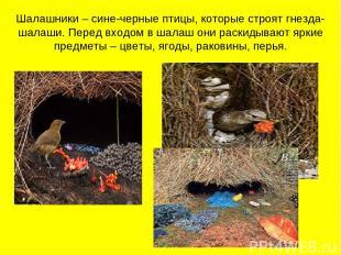 Шалашники – сине-черные птицы, которые строят гнезда-шалаши. Перед входом в шала