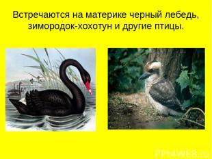 Встречаются на материке черный лебедь, зимородок-хохотун и другие птицы.