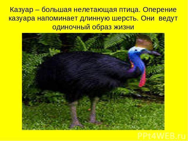 Казуар – большая нелетающая птица. Оперение казуара напоминает длинную шерсть. Они ведут одиночный образ жизни