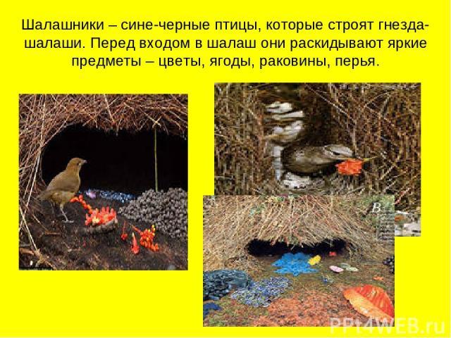 Шалашники – сине-черные птицы, которые строят гнезда-шалаши. Перед входом в шалаш они раскидывают яркие предметы – цветы, ягоды, раковины, перья.