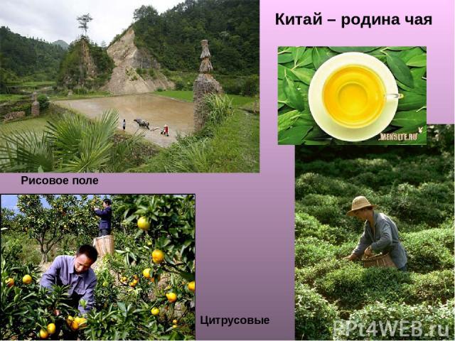 Рисовое поле Китай – родина чая Цитрусовые
