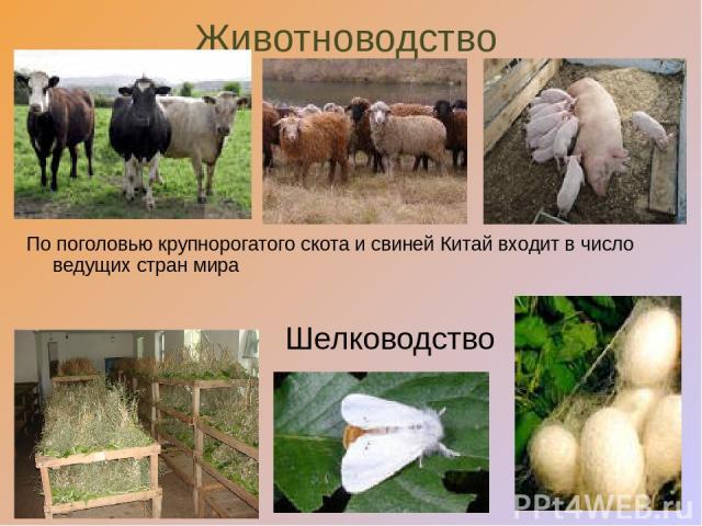 Животноводство Шелководство По поголовью крупнорогатого скота и свиней Китай входит в число ведущих стран мира