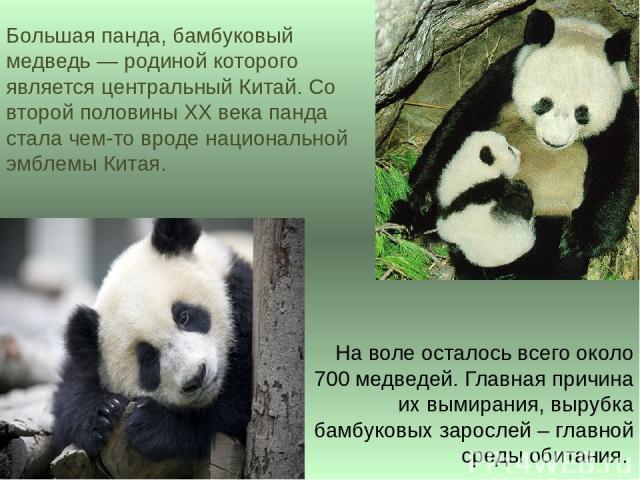 Большая панда, бамбуковый медведь — родиной которого является центральный Китай. Со второй половины XX века панда стала чем-то вроде национальной эмблемы Китая. На воле осталось всего около 700 медведей. Главная причина их вымирания, вырубка бамбуко…