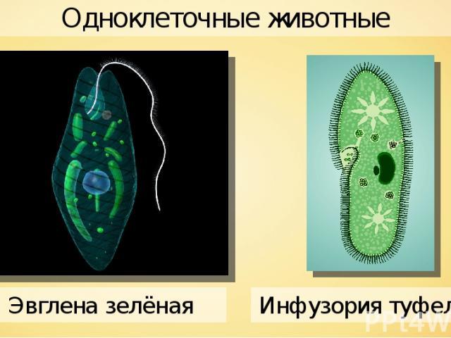 Одноклеточные животные Alexrt2 Инфузория туфелька Эвглена зелёная