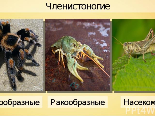 Членистоногие George Chernilevsky Паукообразные Ракообразные Насекомые