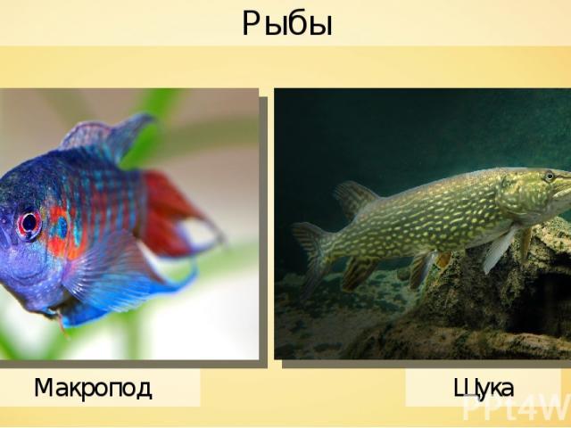 Макропод Рыбы André Karwath Щука