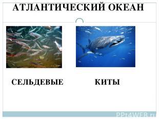 АТЛАНТИЧЕСКИЙ ОКЕАН КИТЫ СЕЛЬДЕВЫЕ