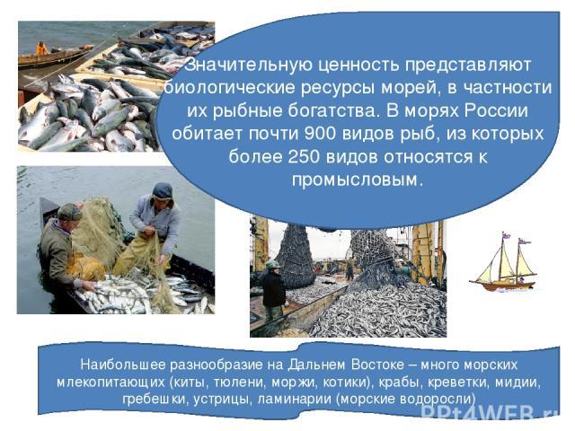 Значительную ценность представляют биологические ресурсы морей, в частности их рыбные богатства. В морях России обитает почти 900 видов рыб, из которых более 250 видов относятся к промысловым. Наибольшее разнообразие на Дальнем Востоке – много морск…